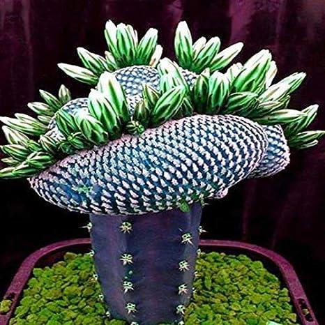 Dovlen 1 Bolsa Super Raro Africano Semillas Cactus Suculento ...