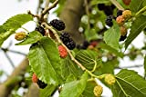 100 Tararica White Mulberry Seeds, Cold Hardy (Morus alba 'tatarica') Fruit Tree