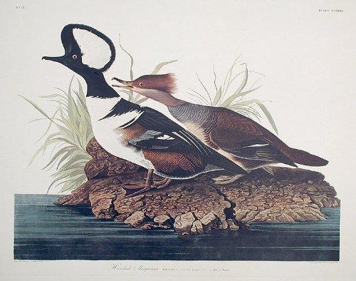 Original Audubon Artwork - 9
