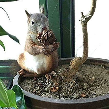 qin chenchen 10 Pieces Tasty Toasty Pine Cone Squirrel Rabbit Chew Treats Toys by qin chenchen (Image #4)
