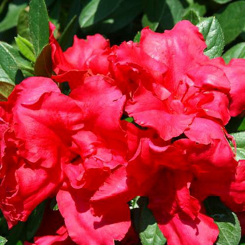 red-bloom-a-thonr-everblooming-azalea-ever-blooming-proven-winners-4-pot