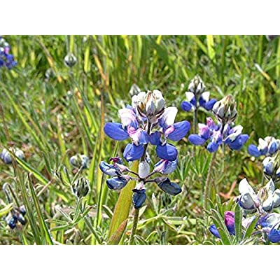 300+ 1/4 OZ Sky Lupine (VRZ) Seeds; Lupinus Nanus; Wildflower Patch : Garden & Outdoor