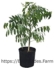 Everglades Farm. Cannot ship to CA,TX or AZ. Approximate height: 2- Feet. Average age of tree in 3 gal container: 6 months. Grown in our plant nursery in Homestead, Florida with the benefits of our subtropical weather. Year to Bear: 1-2 years...