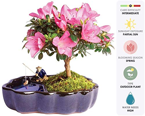 Pink Azalea Plant - Brussel's Bonsai Live Satsuki Azalea Outdoor Bonsai Tree in Zen Reflections Pot - 4 Years Old; 8