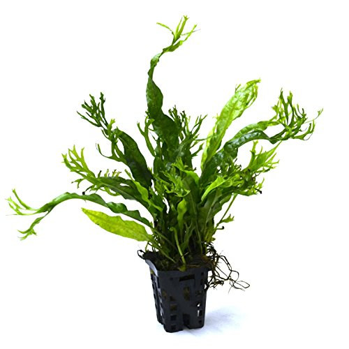Pictures of Lace Java Fern Potted (Microsorum Windelov) Freshwater 3