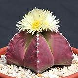 Astrophytum Purple Nudun, @J@ Rare Cactus Seed 20 Seeds