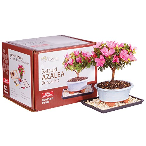 (Brussel's Live Satsuki Azalea Outdoor Bonsai Tree Kit - 4 Years Old; 6
