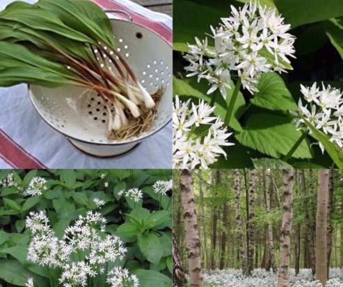 New Wild Leek 200 Seeds Heirloom Non-GMO