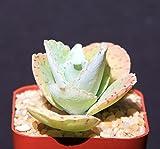 "Rare KALANCHOE GASTONIS BONNIERI Donkey Ear Plants Succulent Plant Cacti 2"" Pot"