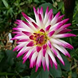 "1 Cactus DINNERPLATE Dahlia"" VERITABLE"" Tuber Bulb Clump Large Flower Blooms"