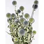 Dried-Echinops-Bunch-Globe-Thistle-3-4-oz-bundle-6-stems-green-to-blue-Case-of-15-bunches