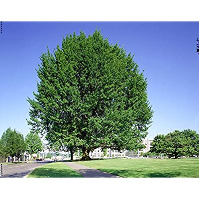 Pin Oak Tree Quercus palustris Hardy Heavy Established Rooted 1 Gallon Trade Pot from Grandiosy Farm : Garden & Outdoor