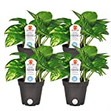 Costa Farms Exotic Angel Pothos Live Indoor Plant, 4-Pack