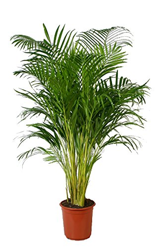 60cm hoch areca palme areca chrysalidocarpus zimmerpalme zimmerpflanze