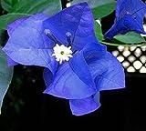 Solution Seeds Farm Rare Heirloom Blue Bougainvillea Spectabilis Willd Bonsai Seeds,100 Seeds.