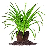 BLUE AGAPANTHUS - Size: 1 Gallon, live plant, includes special blend fertilizer & planting guide