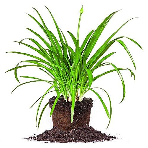 Blue AGAPANTHUS - Size: 1 Gallon, Live Plant, Includes Special Blend Fertilizer & Planting Guide