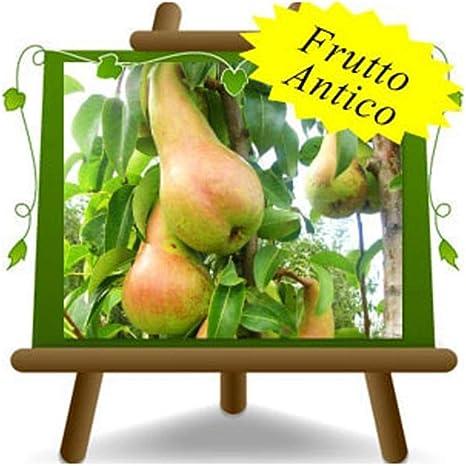 Pianta da frutto antico su vaso da 20 innestata su Portainnesto Pera William max 170 cm 2 anni