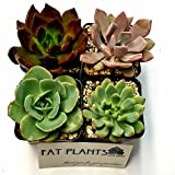 Fat Plants San Diego 2.5 Inch Wedding Rosette Succulent Plants (4)