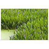 "Great Big Canvas Poster Print Entitled Pickerelweed Colony, Aquatic Perennial herb with Creeping Rhizome, Florida 24""x16"""