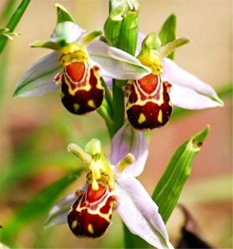 FD3634 Rare!! Seeds Flower Smile Face Bee Orchid Flower Seeds Free Ship 10PCs (Orchids Free Ship)