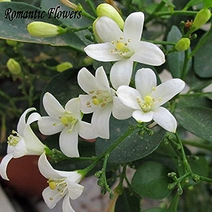 Amazon heirloom 100 real orange jasmine shrub with fragrant heirloom 100 real orange jasmine shrub with fragrant white flower seeds 20 seeds mightylinksfo