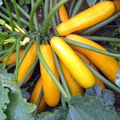 Squah Seeds Svetozar Ukraine Heirloom Vegetable Seeds from Ukraine