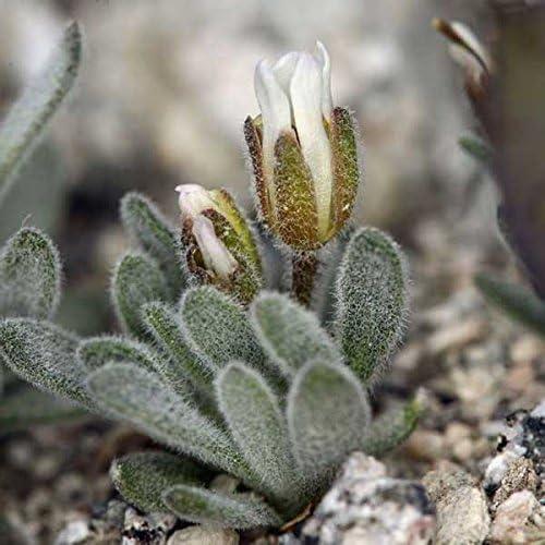 150pcs Daggerpod Semi Giardino succulente Piante di impregnazione