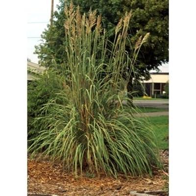Erianthus ravennae Hardy Pampas Grass Seeds! : Garden & Outdoor