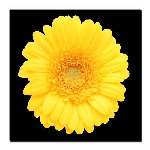 Yellow Gerber Daisy, 24×24-Inch Canvas Wall Art