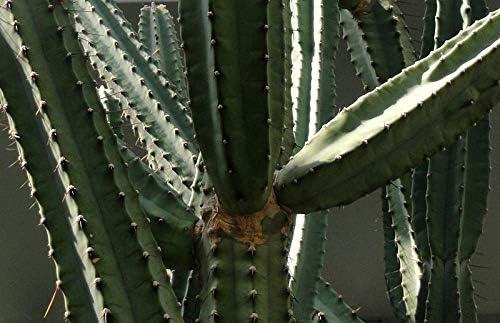succulents seeds    C 50 seeds of  Cereus forbesii seeds cacti