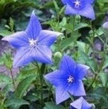 100 graines Platycodon-grandiflora Bleu