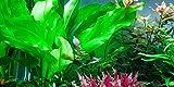 Water Plants Echinodorus cordifolius 'Fluitans' - Live aquarium plant