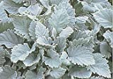 Diamond Bedder Dusty Miller 150 Seeds - Annual