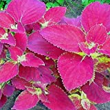 Outsidepride Coleus Jazz Velvet - 100 Seeds