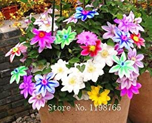 100pcs rare Colorful Clematis Seeds,clematis plant seeds,clematis Bonsai clematis bulbs wire lotus plant seeds
