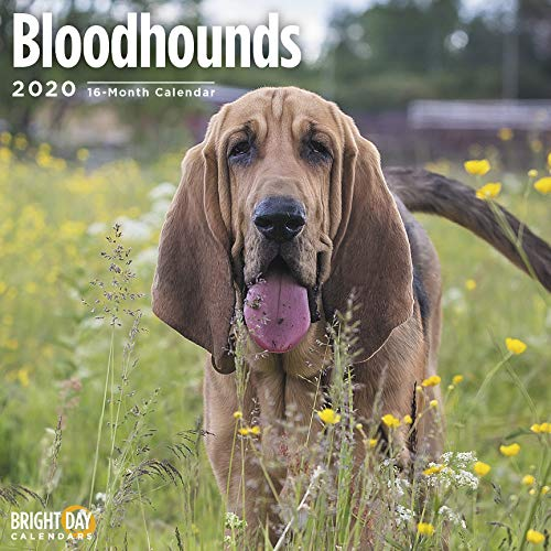 Bloodhound Dog Breed - Dog Breeds