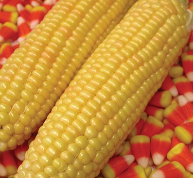 Kandy Corn Vegetable Seeds! - 25 Heirloom Seeds! - SPRING SALE! - Sweet Corn - (Isla's Garden Seeds) - Non GMO! - 85% Germination! Organic Seeds! - Total Quality!