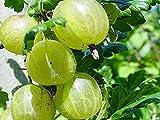 New and Healthy 1 PCS Gooseberry ' Pixwell ' Ribes Hirtellum Starter Plant