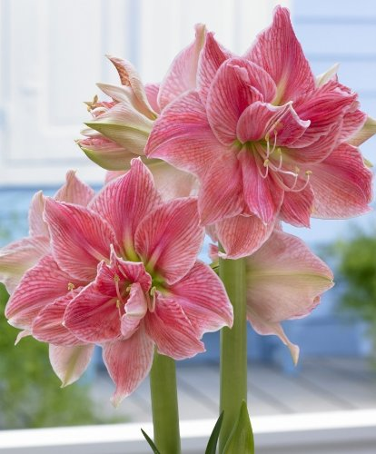 SWEET NYMPH DOUBLE AMARYLLIS GIFT BOX GROWING KIT LARGE BULB SOIL POT SAUCER