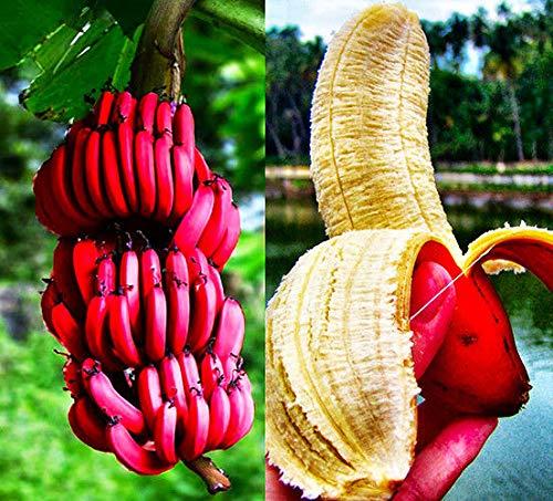 100 PCS Graines De Bananier Rouge Fruit D/écor Usine Bonsa/ï Maison Jardin Lait Go/ût