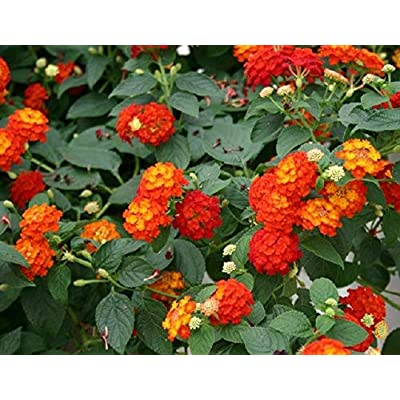 "Lantana - RED - 2 Live Plants - 3.5"" Pot : Garden & Outdoor"