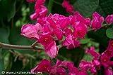 18+ Coral Vine Seeds: Pink (Antigonon Leptopus) Rosa De Montana,queen's Wreath