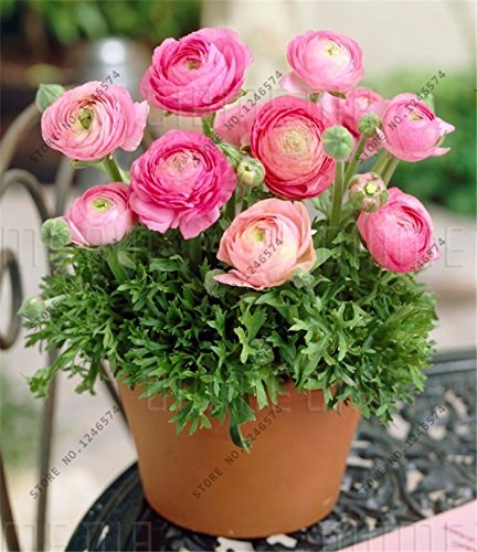 Loss Promotion! 100 Pcs / Bag, Ranunculus Seeds, Flower seed, Diy Potted Plants, Indoor / Outdoor Pot Seed Germination Rate Of 95% seeds of hope - Ranunculus Bulbs