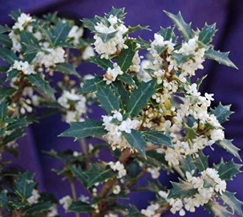 Fragrant Princess Dwarf Tea Olive - Live Plant - Trade Gallon -