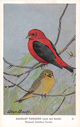 Scarlet Tanager 1939 Audubon Summer Birds of Eastern North America #28 (VG+)