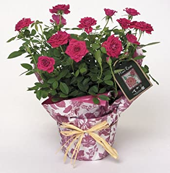 Amazon Winning Gifts Potted Pink Miniature Rose Plant Garden