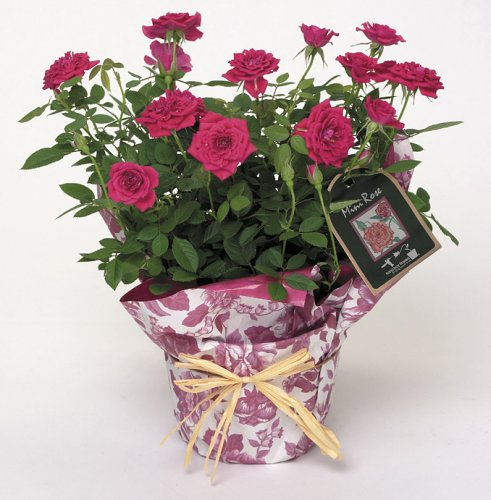 Winning Gifts Potted Pink Miniature Rose ()
