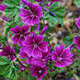 Common Mallow 'Zebrina' (Malva Sylvestris) Herbal Plant Heirloom, 60-90 Seeds