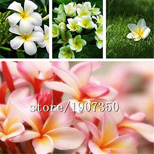 Großer Verkauf Heiße verkaufen100pcs Ei Blumensamen, Plumeria rubra Bonsai Blume DIY Hausgarten